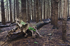 Pine Forest Trunks Hor Royalty Free Stock Images