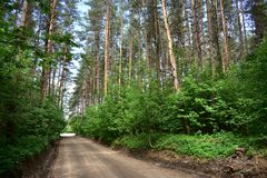 Pine forest tunnel of coniferous branches above the road. All the leaves and branches of the tree form a lush crown cap, which gives shade stock photo