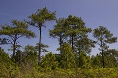 Pine forest under blue sky Stock Photos