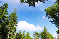 Pine forest under cloudy blue sky in mountain. Carpathians Royalty Free Stock Photo