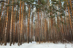 Pine forest under deep blue sky Stock Images