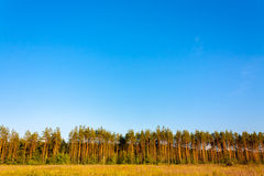 Pine Forest. Under Deep Blue Sky royalty free stock images