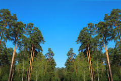 Pine forest under deep blue sky Royalty Free Stock Images