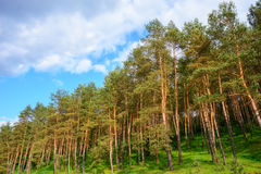 Pine forest under deep blue sky. With clouds royalty free stock photography