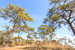 Pine forest. Under deep blue sky in mountain Royalty Free Stock Image