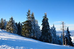 Pine forest under the snow on mountain landscape Stock Image