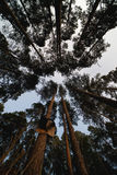 Pine forest view from below Stock Images