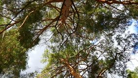Pine forest. A view from below on the crowns of trees. Circular motion of the camera stock footage
