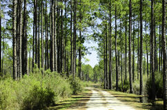 Pine forest. A view of a pine forest in Florida with a road running through it stock photos