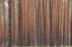 Pine forest, Vladimir region, Russia Stock Image