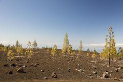 Pine forest in volcanic landscape Stock Images