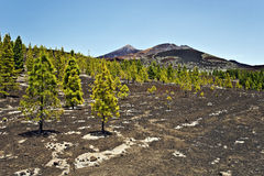 Pine forest in volcanic slope in Teide national Pack Stock Images