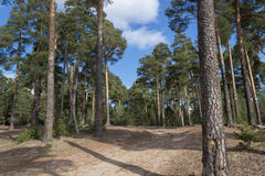 Pine forest. Walk on a pine forest on a clear day Royalty Free Stock Images