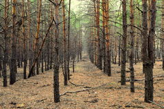 Pine forest. A walk in a pine forest. Fresh autumn royalty free stock photography