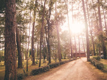 Pine forest with warm light filter. In Chiangmai, Thailand stock photo