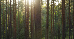 Pine forest in warm summer day Royalty Free Stock Image