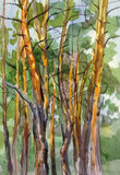 Pine forest watercolor landscape. Trunks of Siberian pines with bright sunbeams Stock Photo