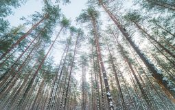 Pine forest wide and low angle. Low angle of pine trees in winter, wide view of forest from below stock photography