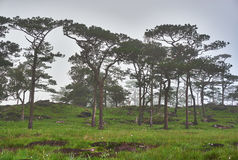 Pine forest and wild flowers field, Bolaven, LAO Stock Photo