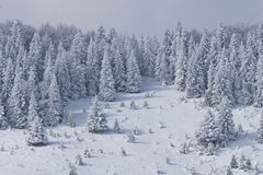 Pine forest in winter. A pine forest in the middle winter royalty free stock photos