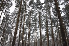Pine forest in winter Stock Image
