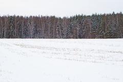 Pine forest. Winter. Stock Images