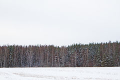 Pine forest. Winter. Royalty Free Stock Photos