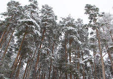 Pine forest in winter Royalty Free Stock Image