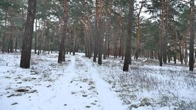 Pine forest winter christmas tree snow motion field in winter nature beautiful landscape. Pine forest winter christmas tree snow motion field winter nature stock video footage