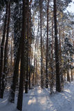 Pine forest, winter. Frosty morning stock photo