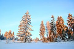 Pine forest in winter Stock Photo