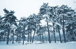 Pine forest in winter landscape Royalty Free Stock Photography