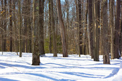 Pine forest in winter with morning shadows on the snow. Royalty Free Stock Photos