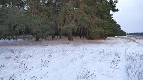 Pine forest winter motion christmas tree snow field in winter nature beautiful landscape. Pine forest winter motion christmas tree snow field winter nature stock footage