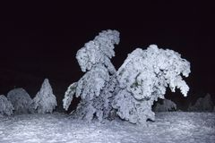 Pine forest at the winter night Stock Image