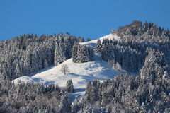 Pine forest in Winter Stock Images