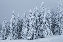 Pine forest in winter Royalty Free Stock Photo