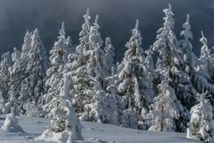 Pine forest in winter Royalty Free Stock Images