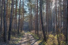 Pine forest in the winter Royalty Free Stock Images