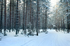 Pine forest  winter  snow Royalty Free Stock Photos