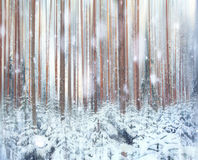Pine forest  winter  snow Royalty Free Stock Image
