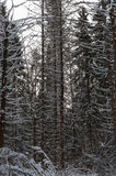 Pine forest at winter Royalty Free Stock Photo