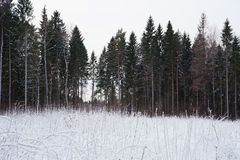 Pine forest at winter with snow on bushes Stock Photo