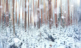 Pine forest, winter, snow Royalty Free Stock Photos