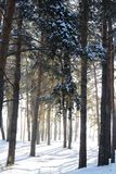 The pine in the forest. Winter pine forest. Snow in the forest. There is lot of snow on the branches of the pines and on the ground royalty free stock photos