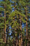 Pine forest. The pine wood in the town of Svyatogorsk, Ukraine Stock Image