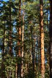 Pine forest. The pine wood in the town of Svyatogorsk, Ukraine Royalty Free Stock Photography
