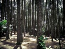 Pine forest, Yogyakarta, Indonesia. Peaceful and tranquil scenery of pine forest in Yogyakarta area in Indonesia stock photos