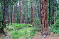 Pine forest in Yosemite National Park, CA USA Royalty Free Stock Image