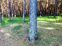 Pine forest with young birches in summer 26 stock photos